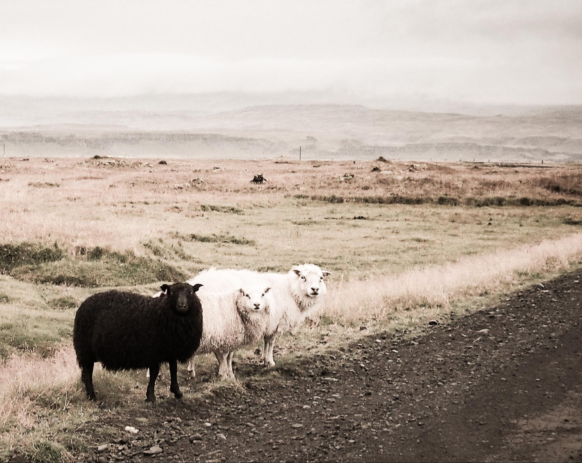One black sheep, two white ones