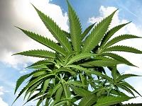 Treatment Efficacy of Marijuana