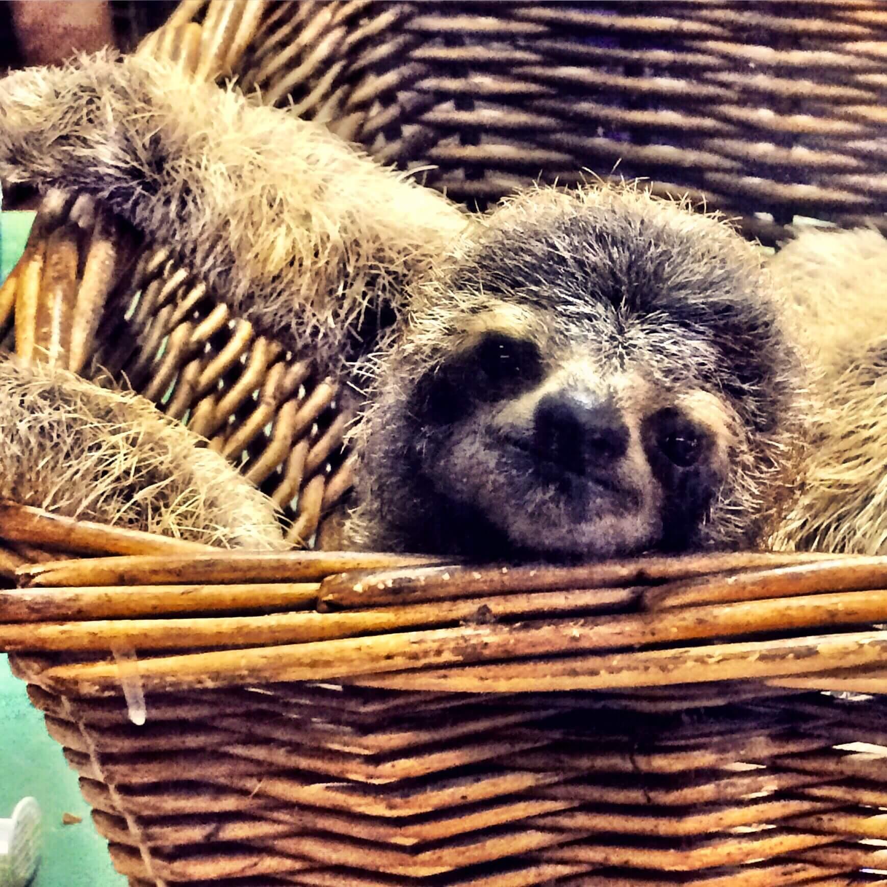 visit-costa-rica-sloth