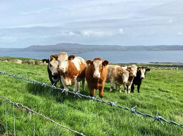 sheeps-head-way-cows