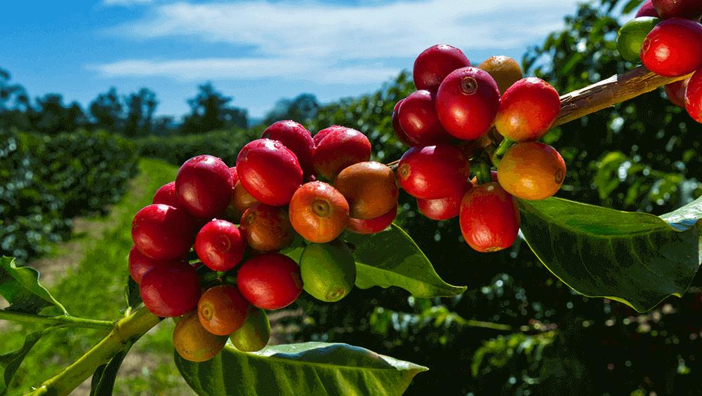 Плоды кофейного дерева арабика