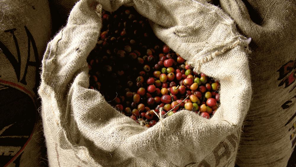 Плоды ягод кофе в мешке