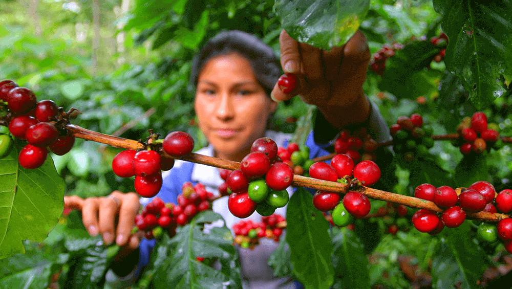 Ручной сбор созревших кофейных плодов