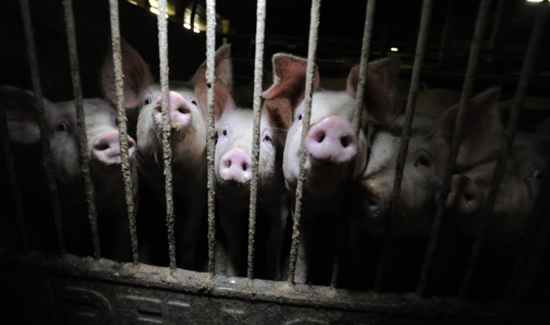 Pigs on a factory farm
