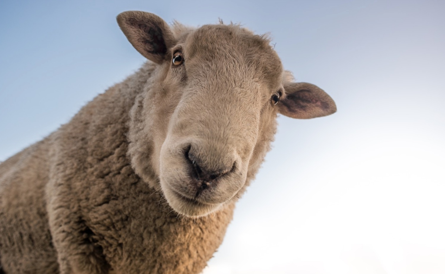 Sheep and the Wool Industry