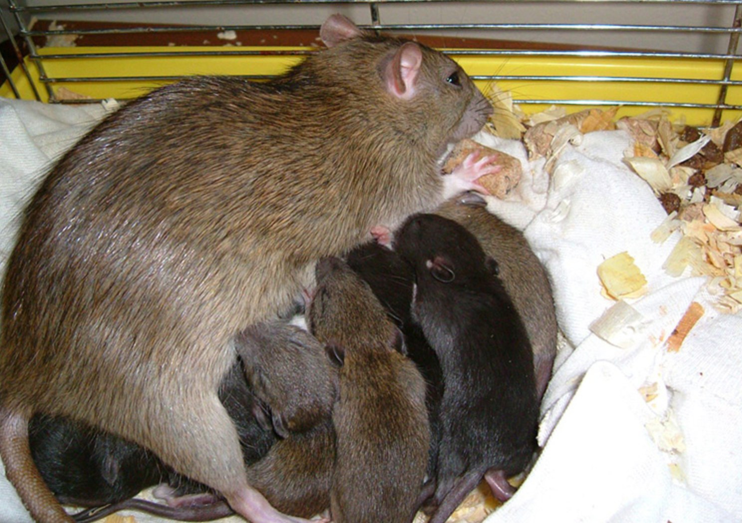 A mother rat with her babies