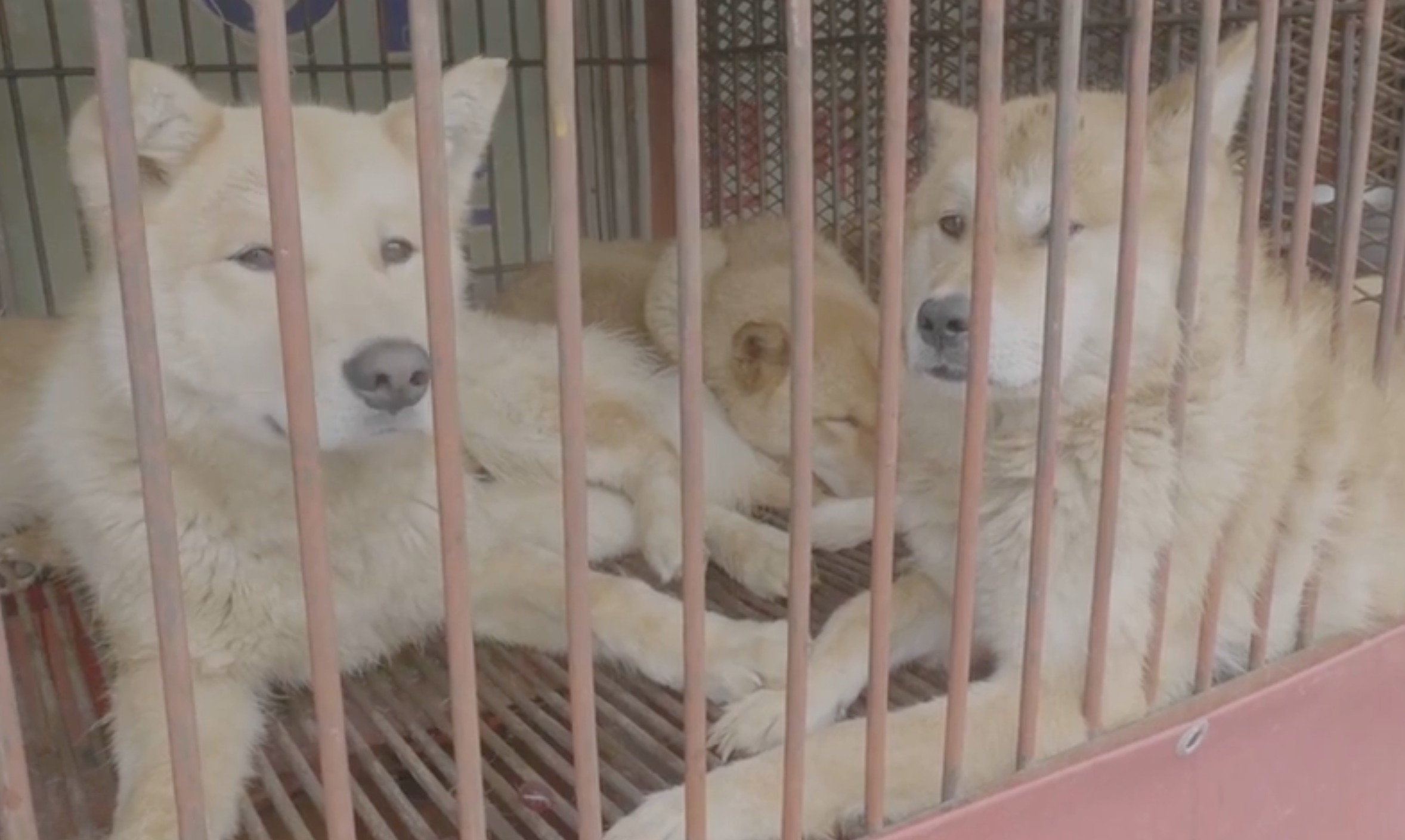 Dogs who will be killed in the South Korean dog meat trade