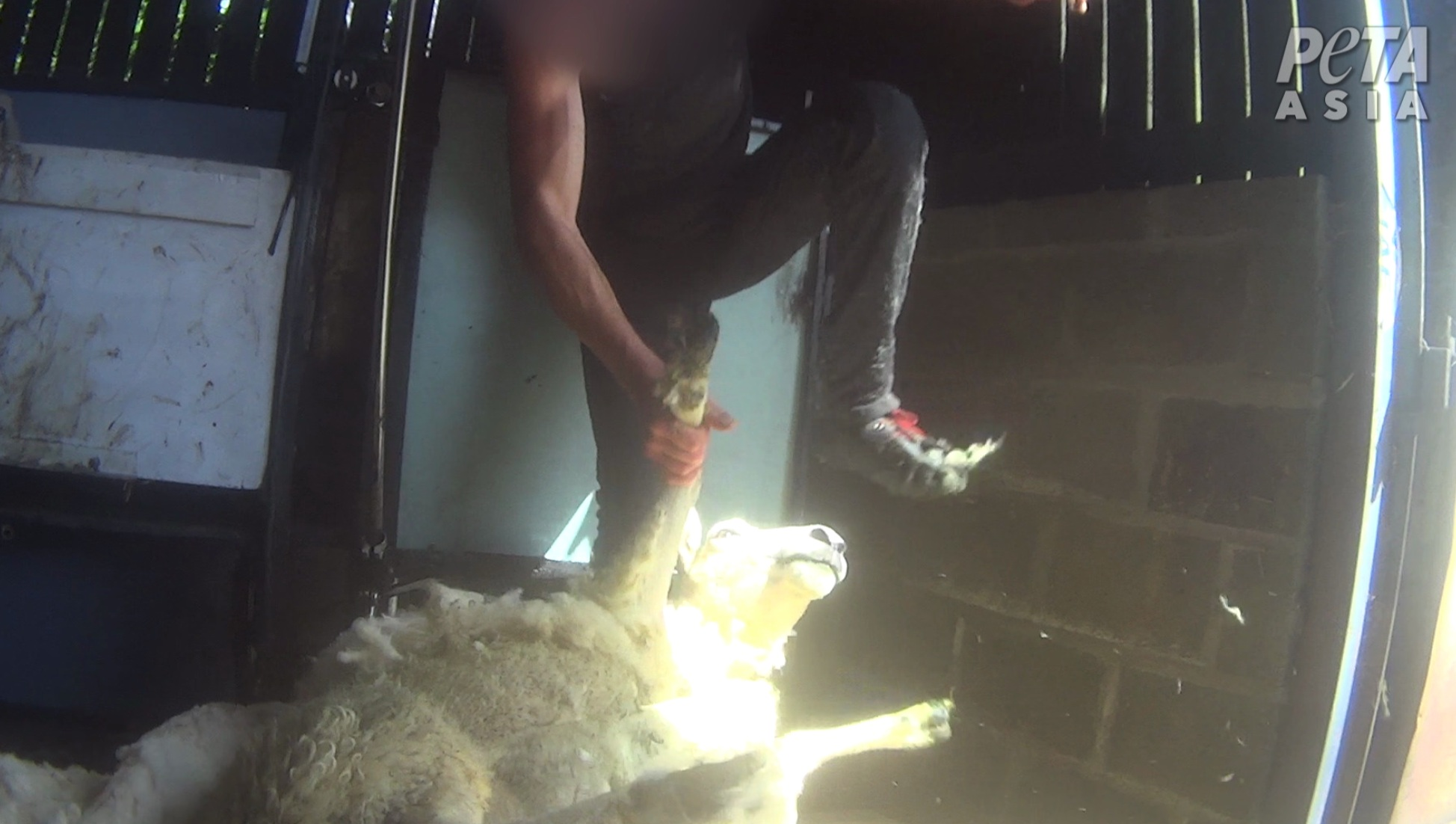 A sheep shearer abuses an animal