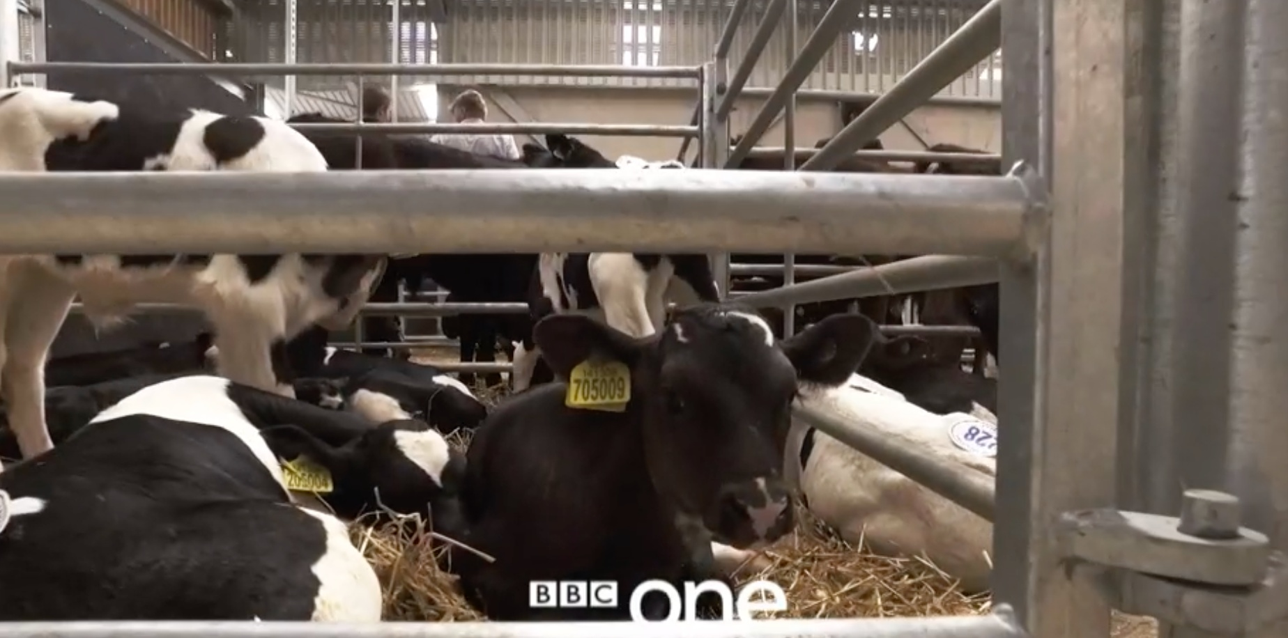 A dairy calf in BBC show 'The Dark Side of Dairy'