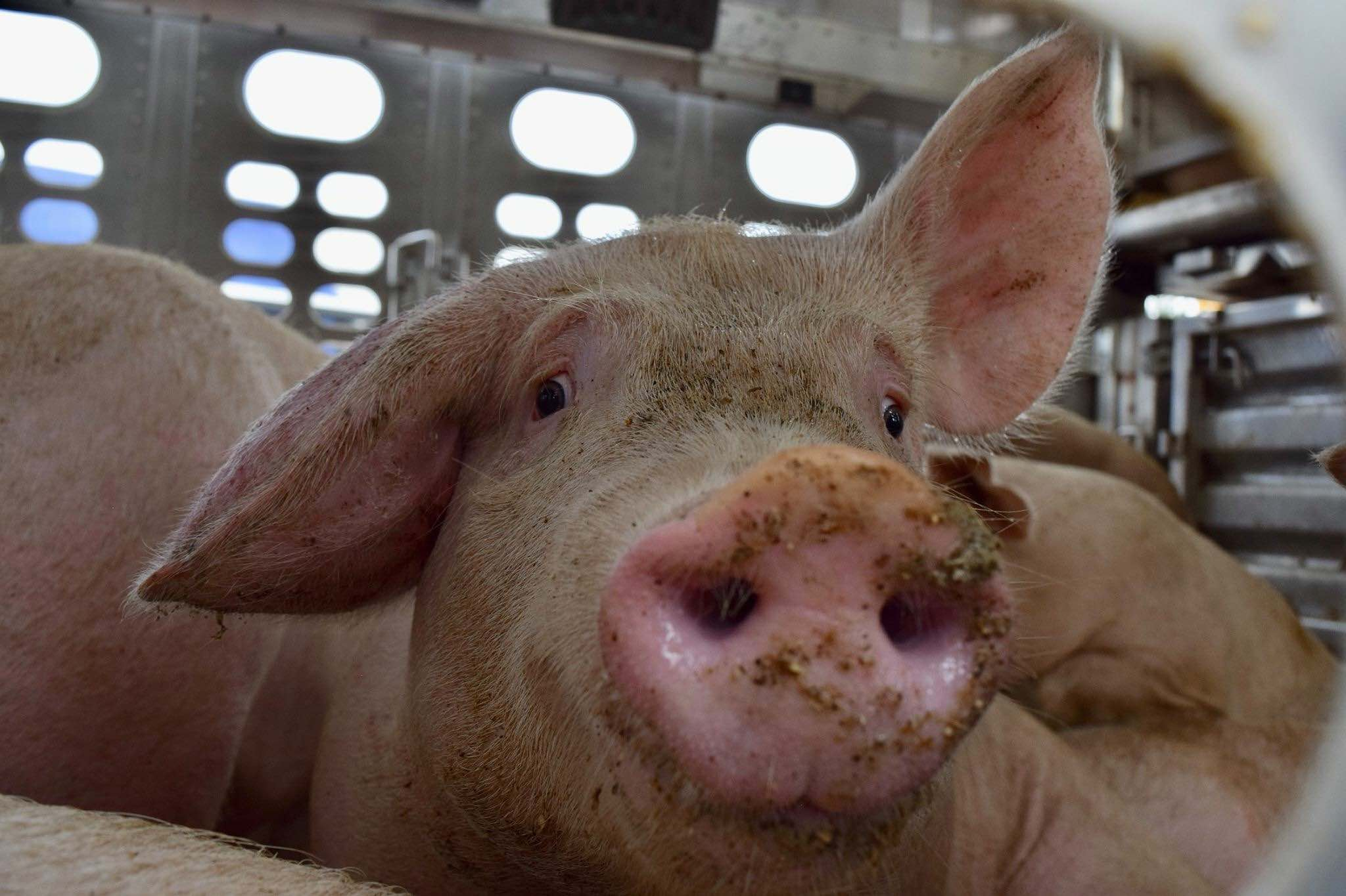 A pig going to slaughter
