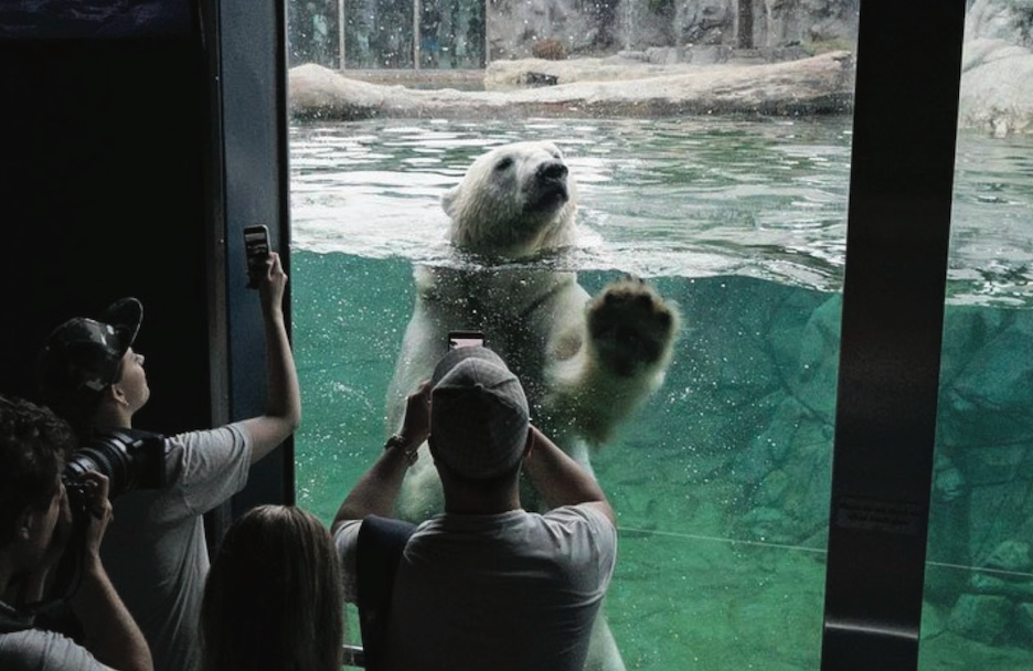 People photograph a polar bear in a tank in a zoo