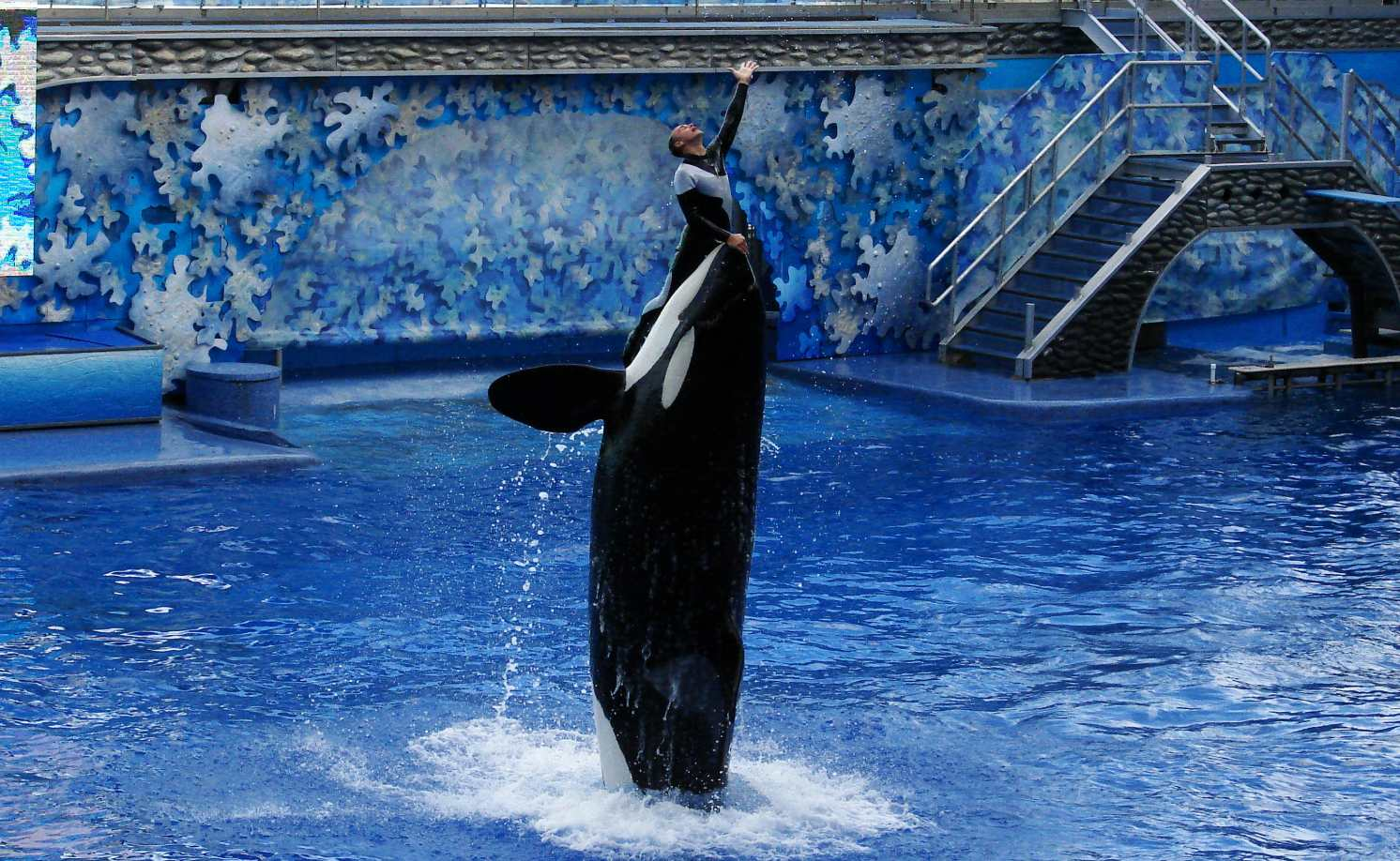 An orca performs at SeaWorld