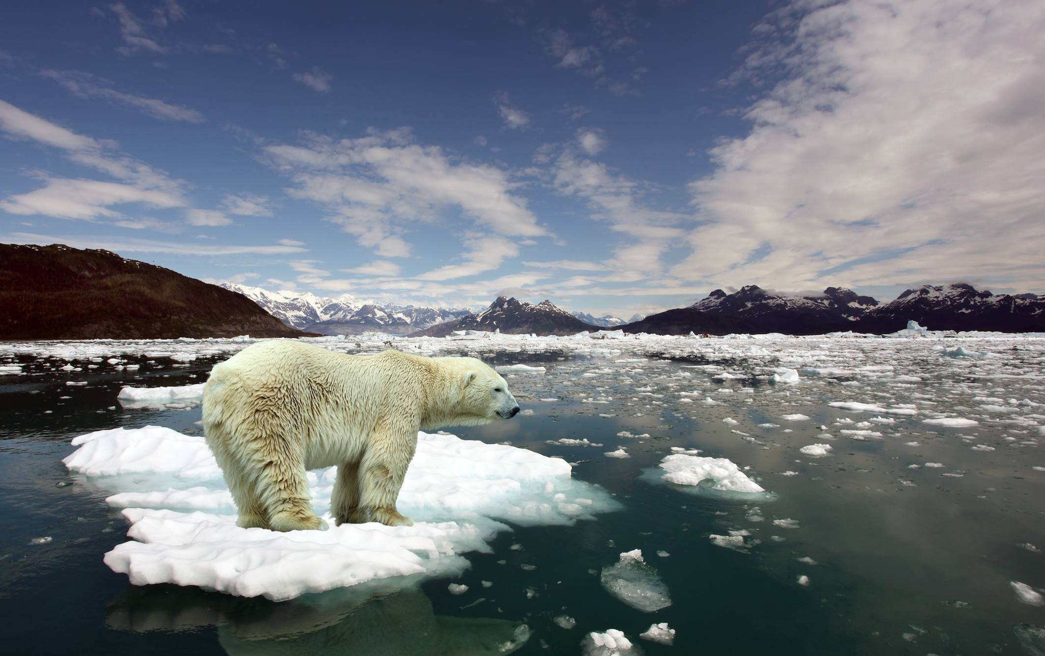 A polar bear standing on a melting ice cap