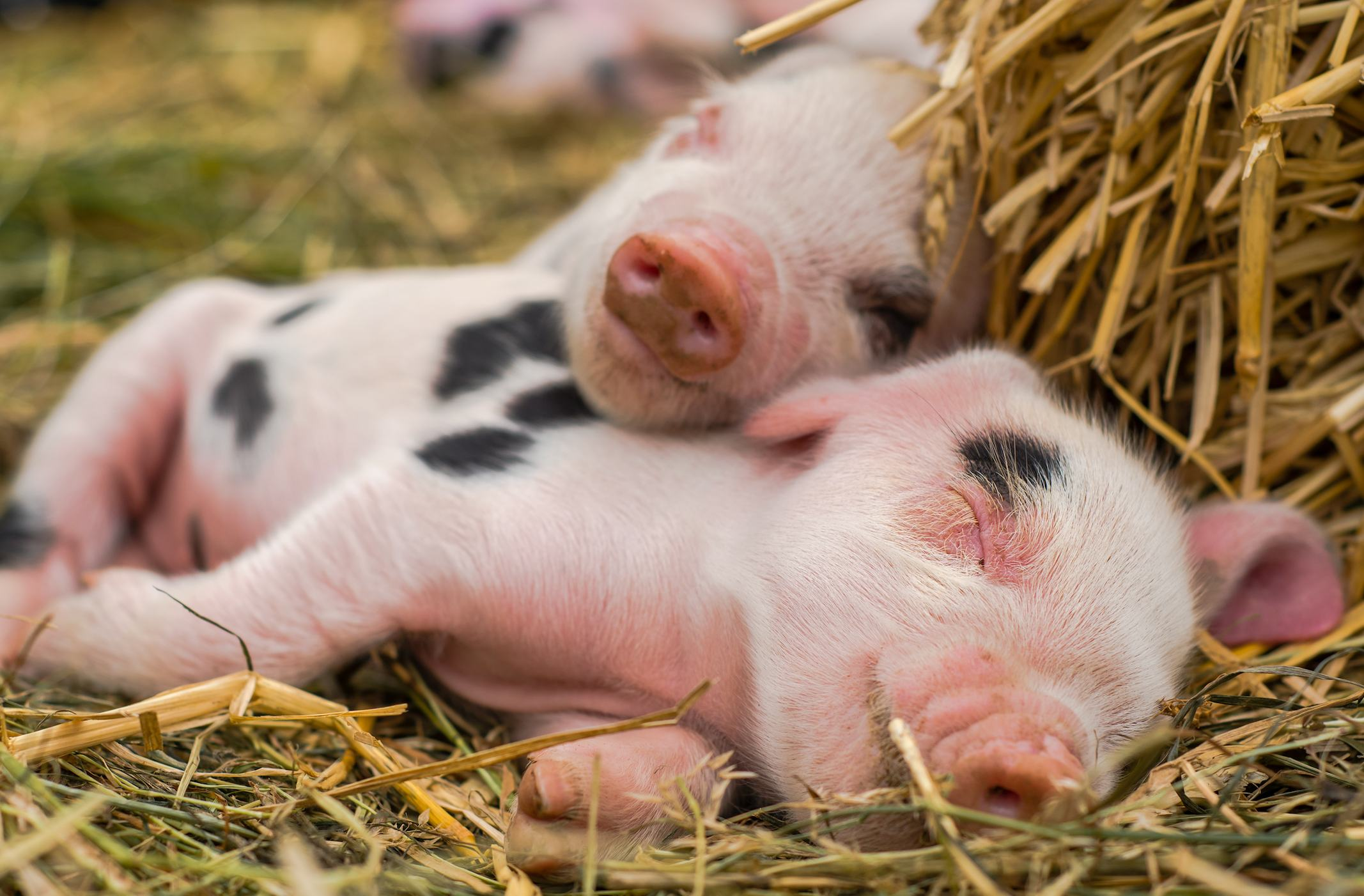 Piglets snuggling in straw