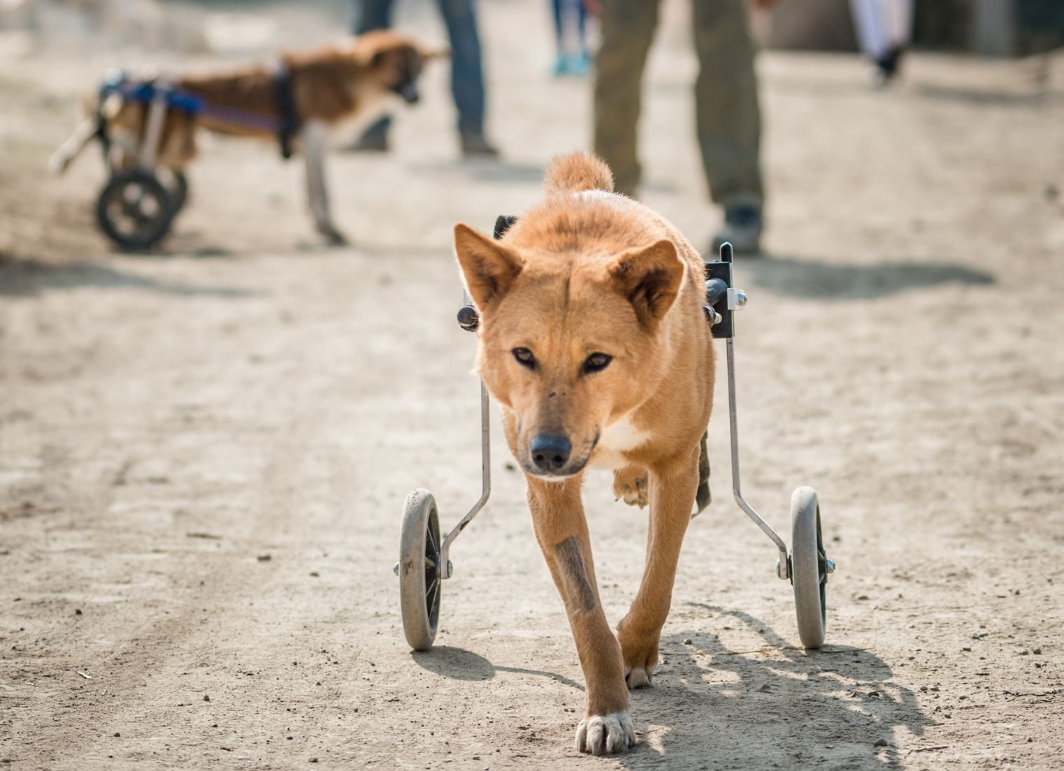 A dog in a wheelchair