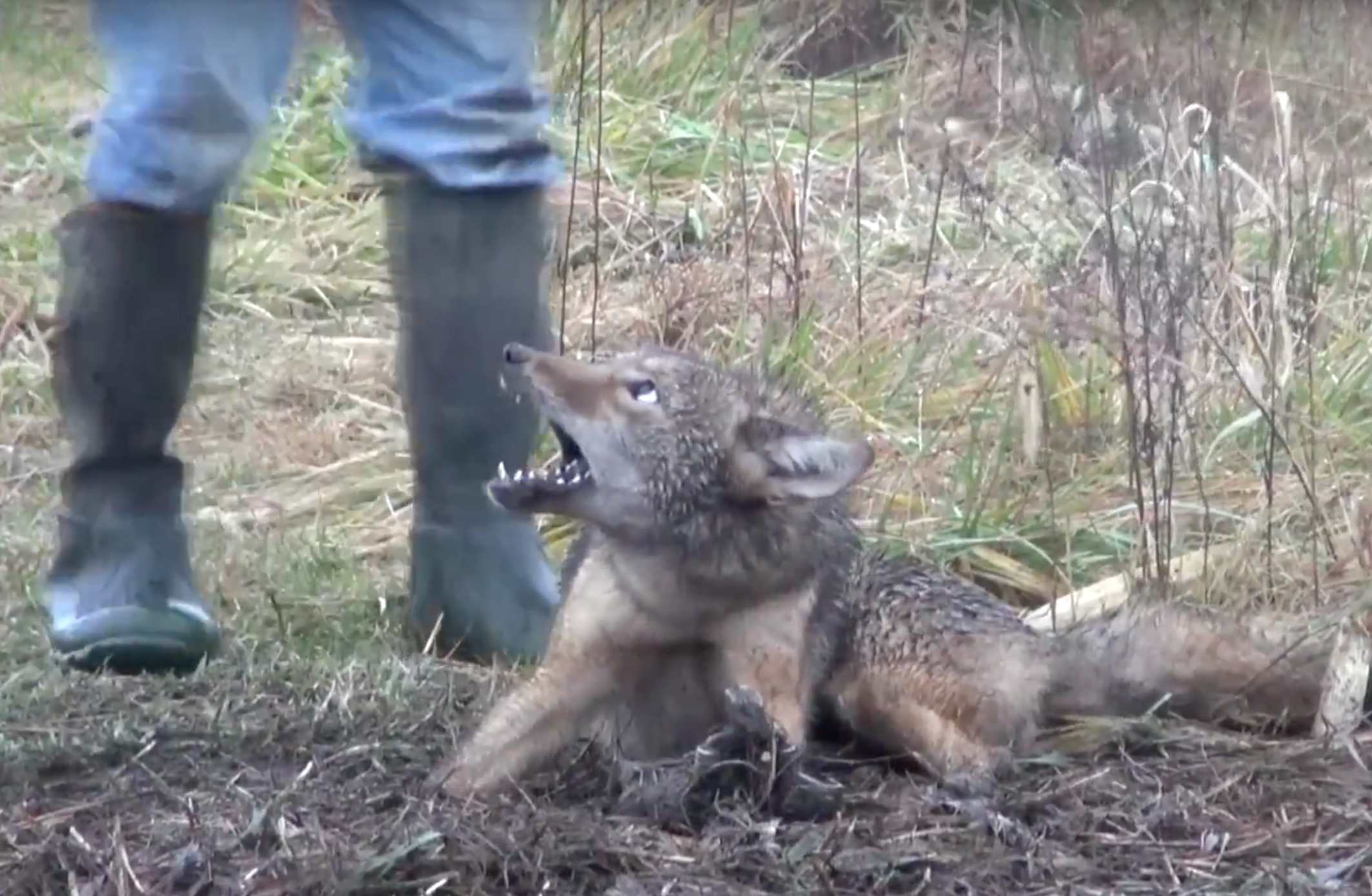 A trapped coyote who will be killed for Canada Goose