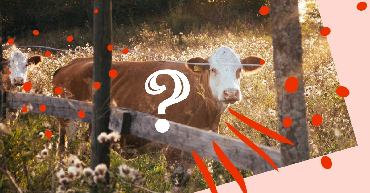 Cow and a question mark