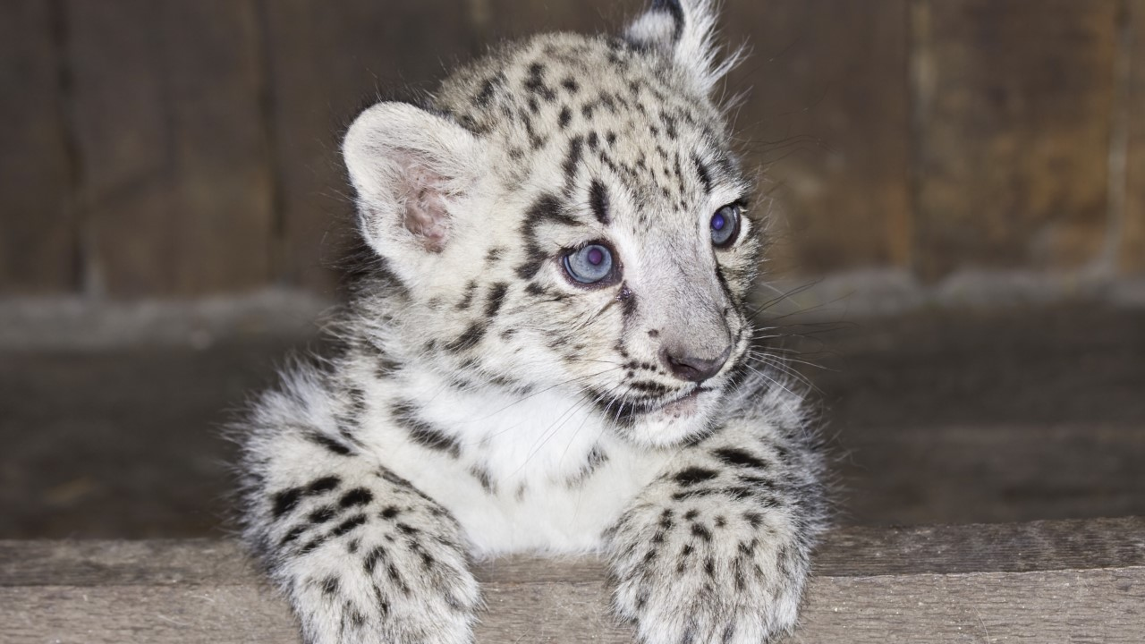 leopard-cub-in-luggage