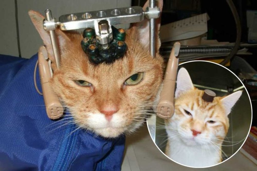 Cat is the subject of an experiment