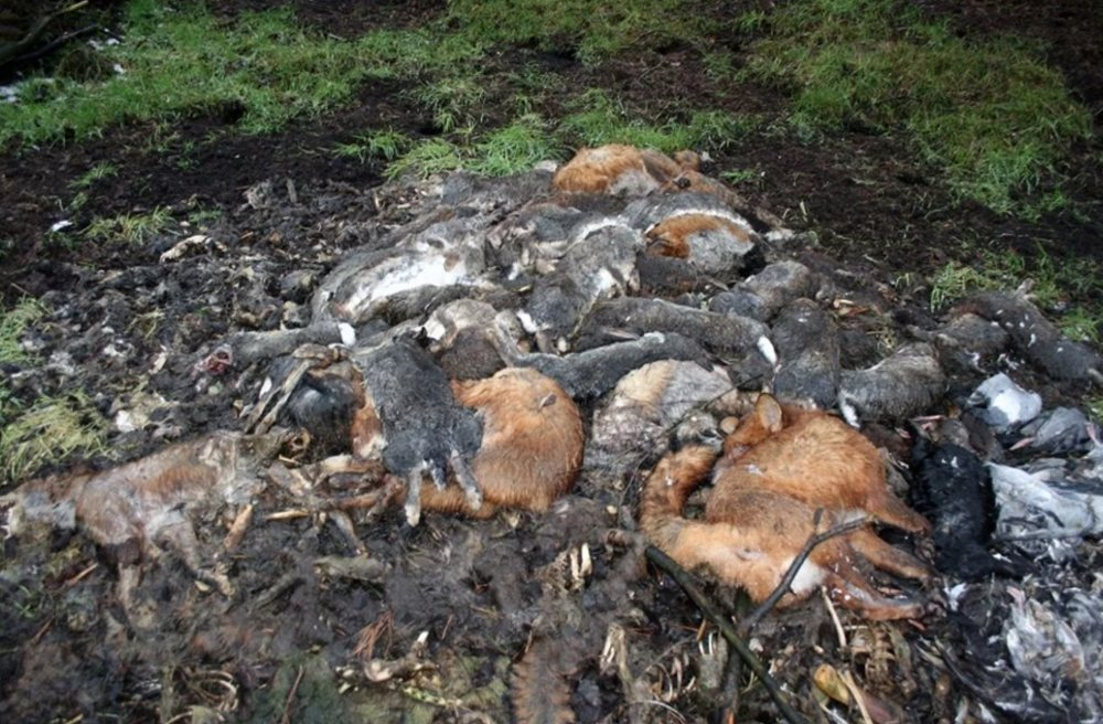 Dead foxes on a shooting estate