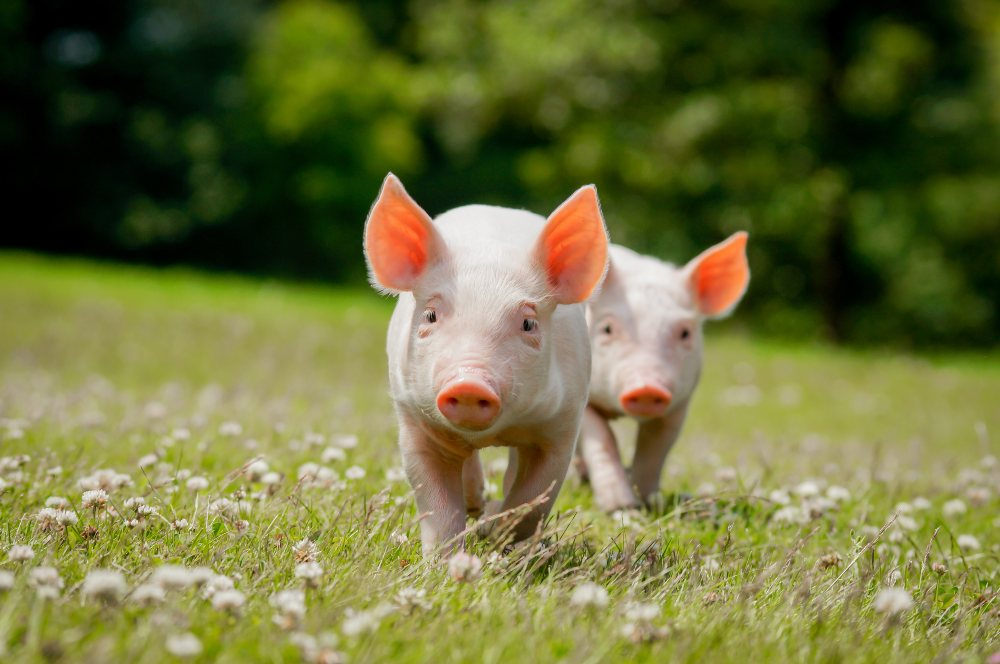 Two pigs in a field