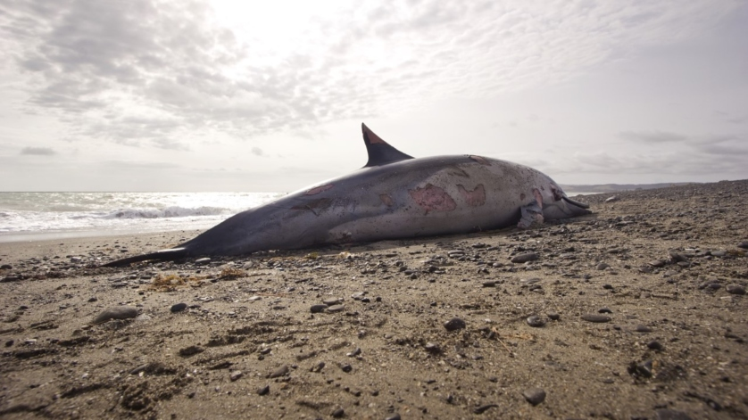 dolphin-corpses-french-beach