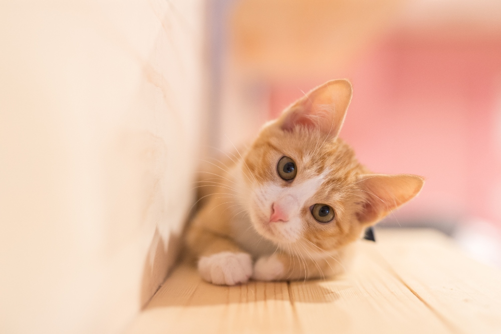 A ginger cat