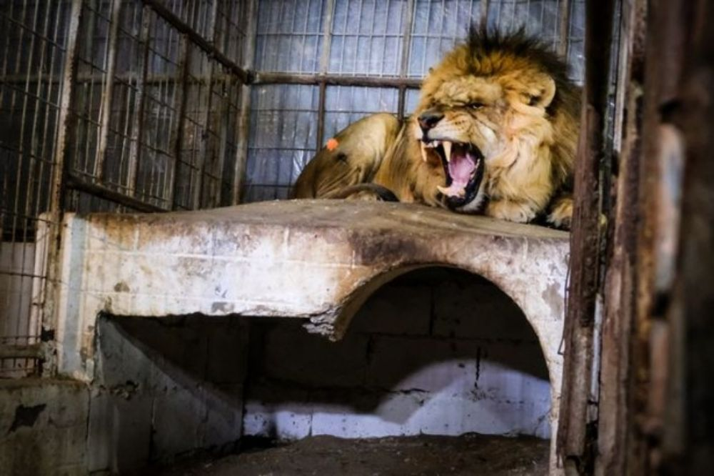 Lion at zoo in Gaza