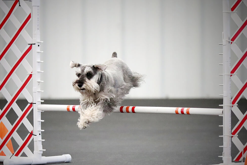There are common obstacles to expect in the sport of agility — jumps (hurdles), tunnels, contact obstacles, and weave poles. (Photo: Sonja Hahn)