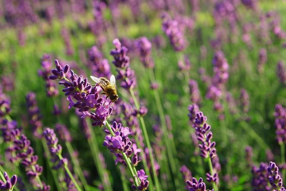 lavender-834253_960_720.jpg