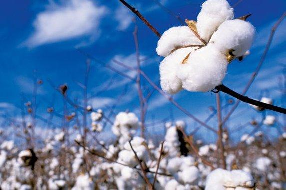 Investimento na produção interna do algodão pode relançar indústria têxtil