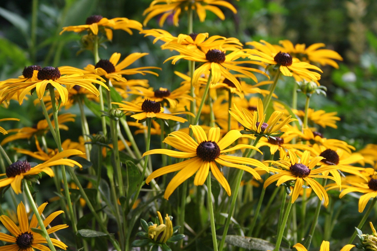yellow Black-eyed Susan flowers