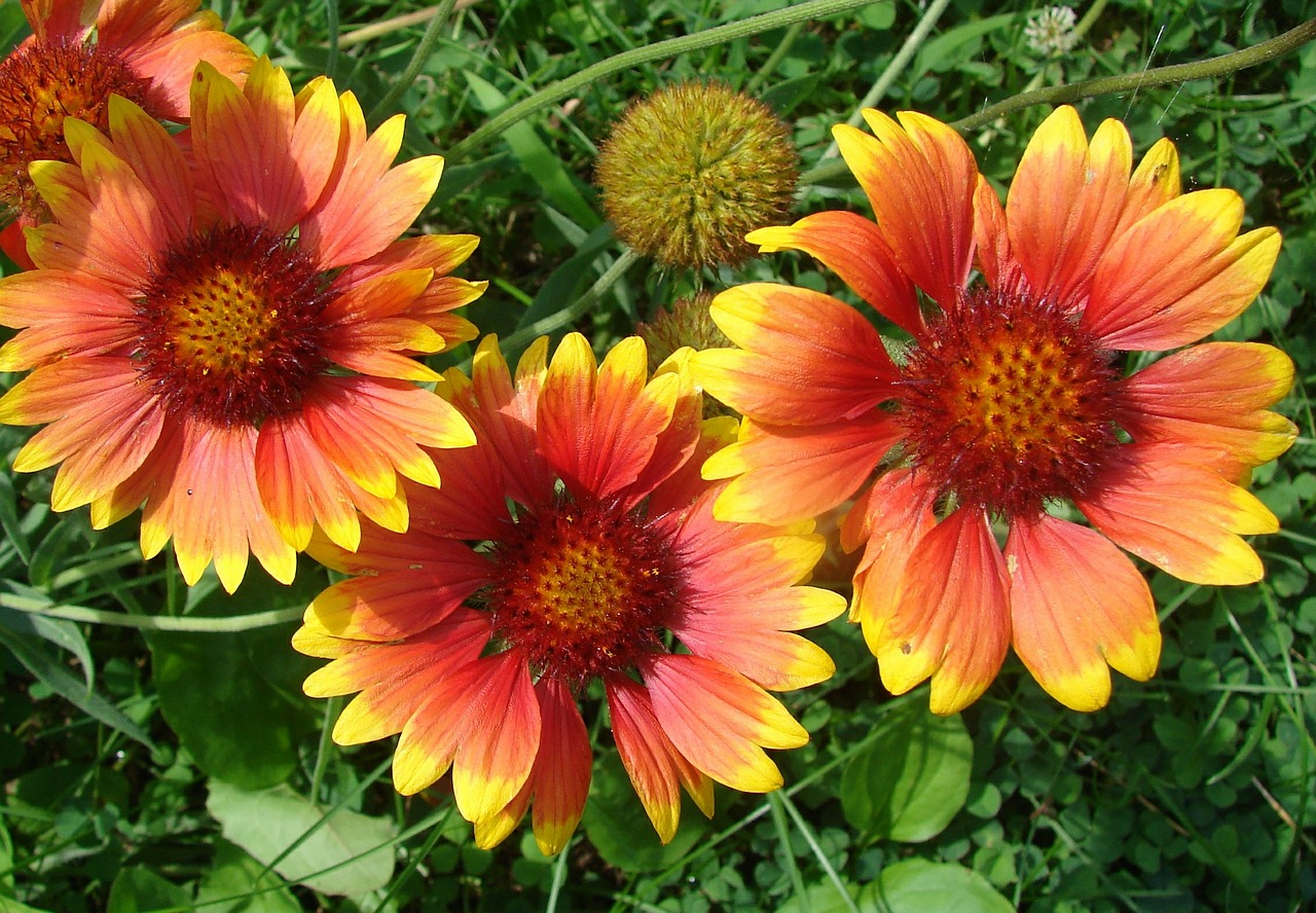 three red-orange blanket flowers