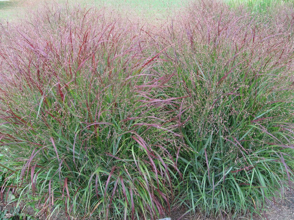 red Shenandoah switchgrass