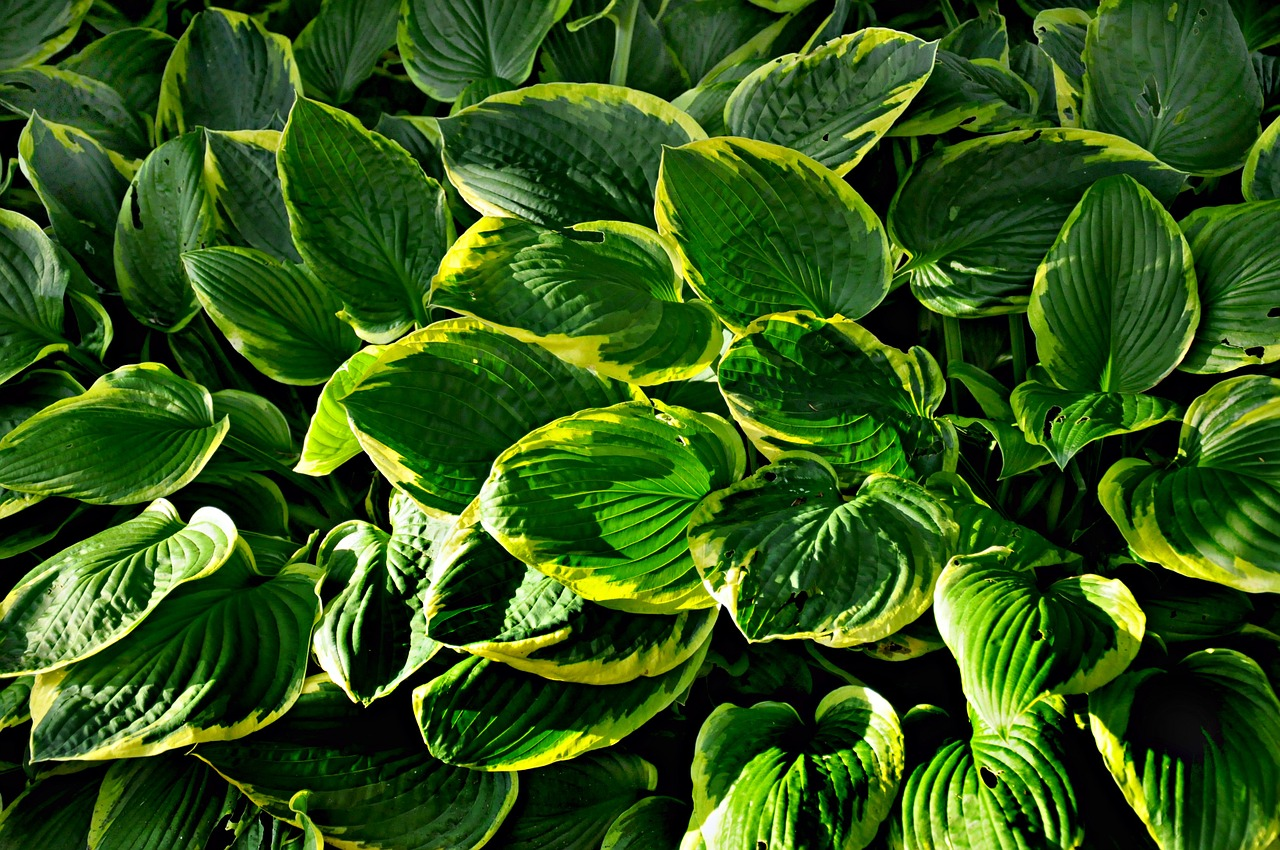 Frances Williams hostas