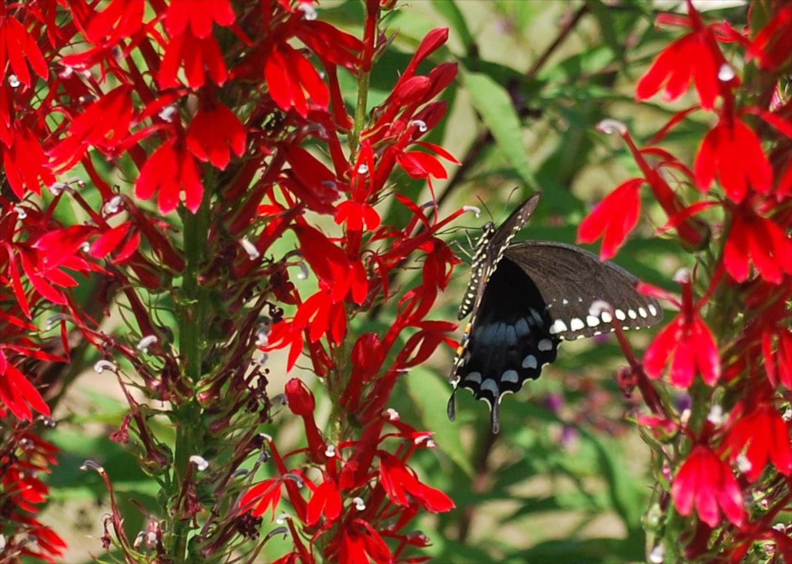 black butterfly on red cardinal flowers