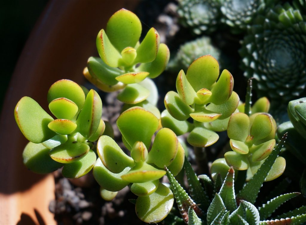 A beautiful jade succulent with rounded leaves in the sunlight
