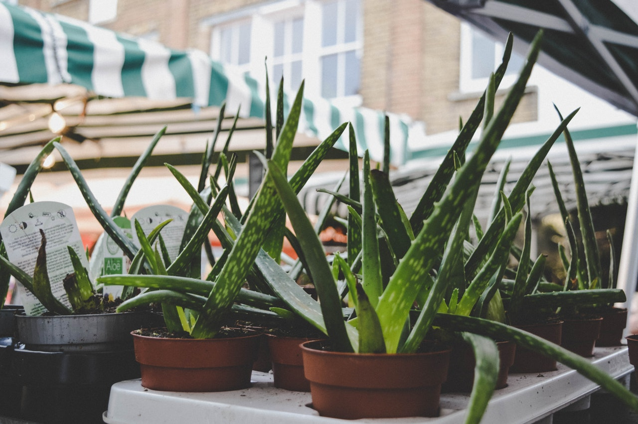 Aloe vera plants sit on a display at a home and garden store