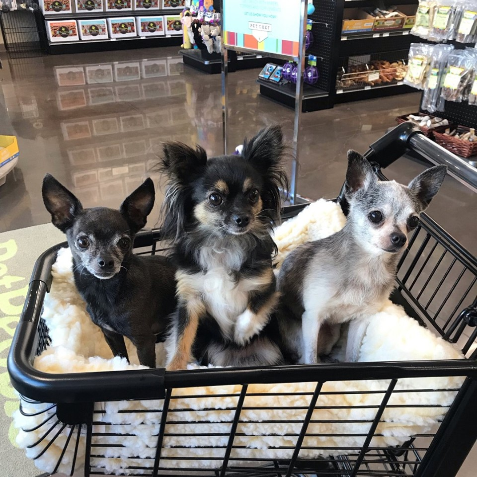 Three small dogs sit happily in a shopping cart on a trip to buy treats at the pet store