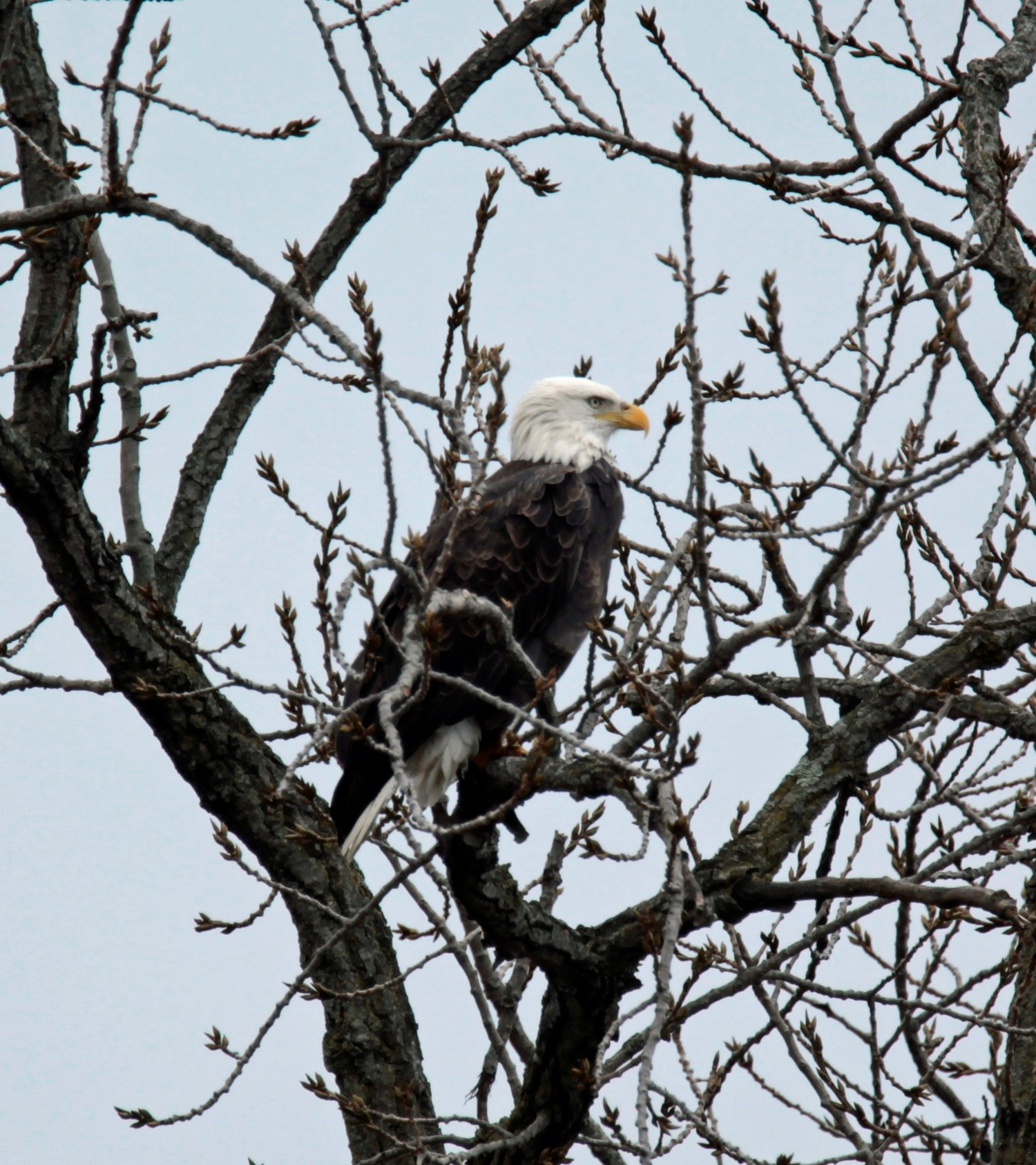 Ohio bald eagle perched in a tree