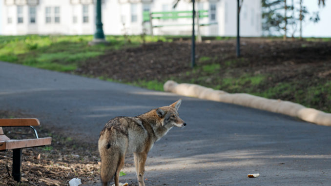 photo of coyote in park