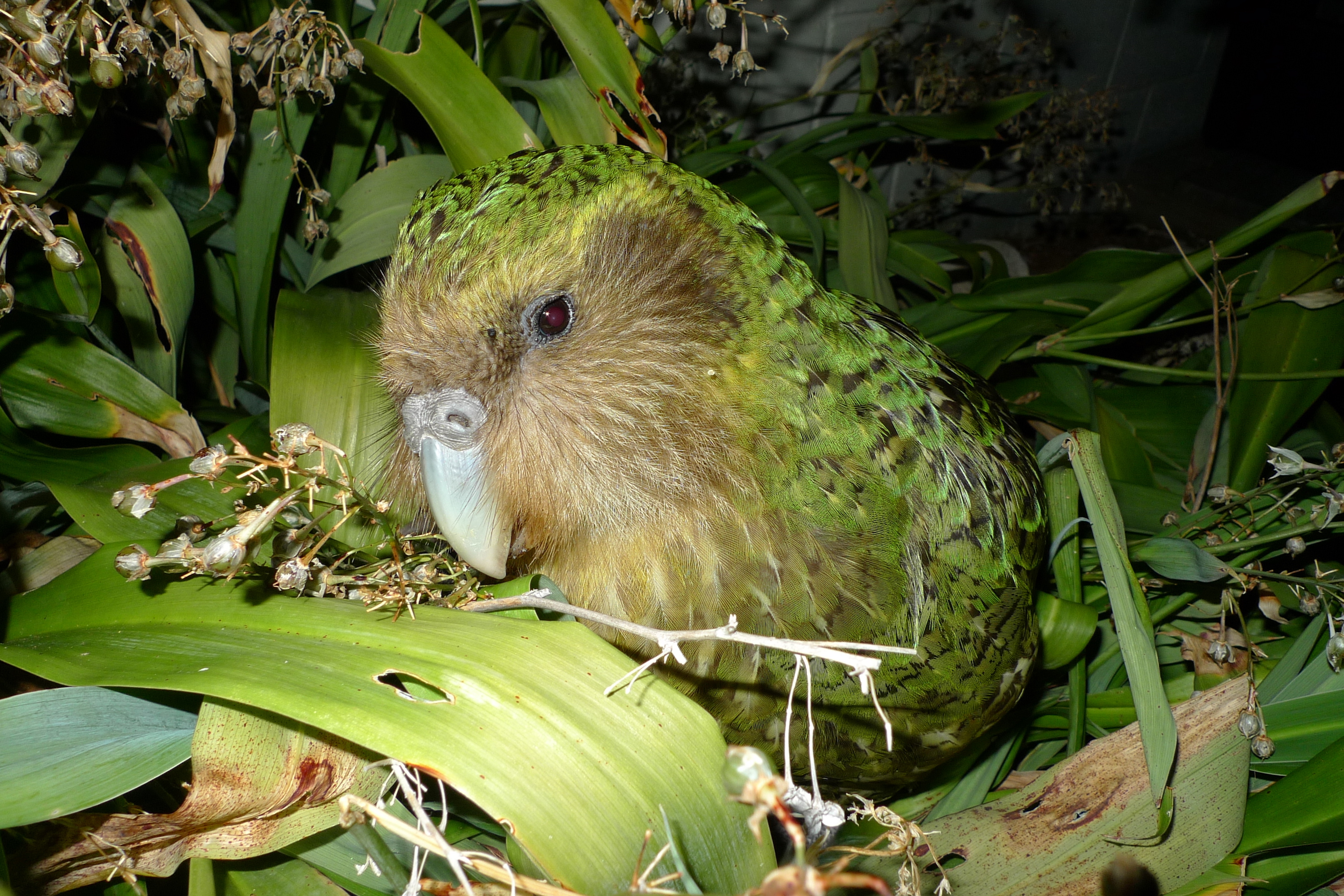 Sirocco the kākāpō among renga lilies on Maud Island, New Zealand. Photo by Chris Birmingham for New Zealand Department of Conservation via Flickr, licensed under (CC-BY-2.0).