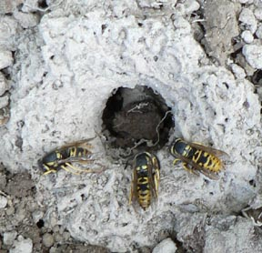 Cascadia Venom Collection yellowjacket nest removal