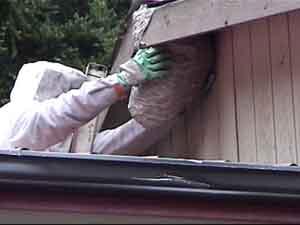 Cascadia Venom Collection hornet nest removal
