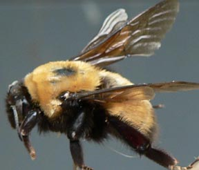 Cascadia Venom Collection bumble bee removal