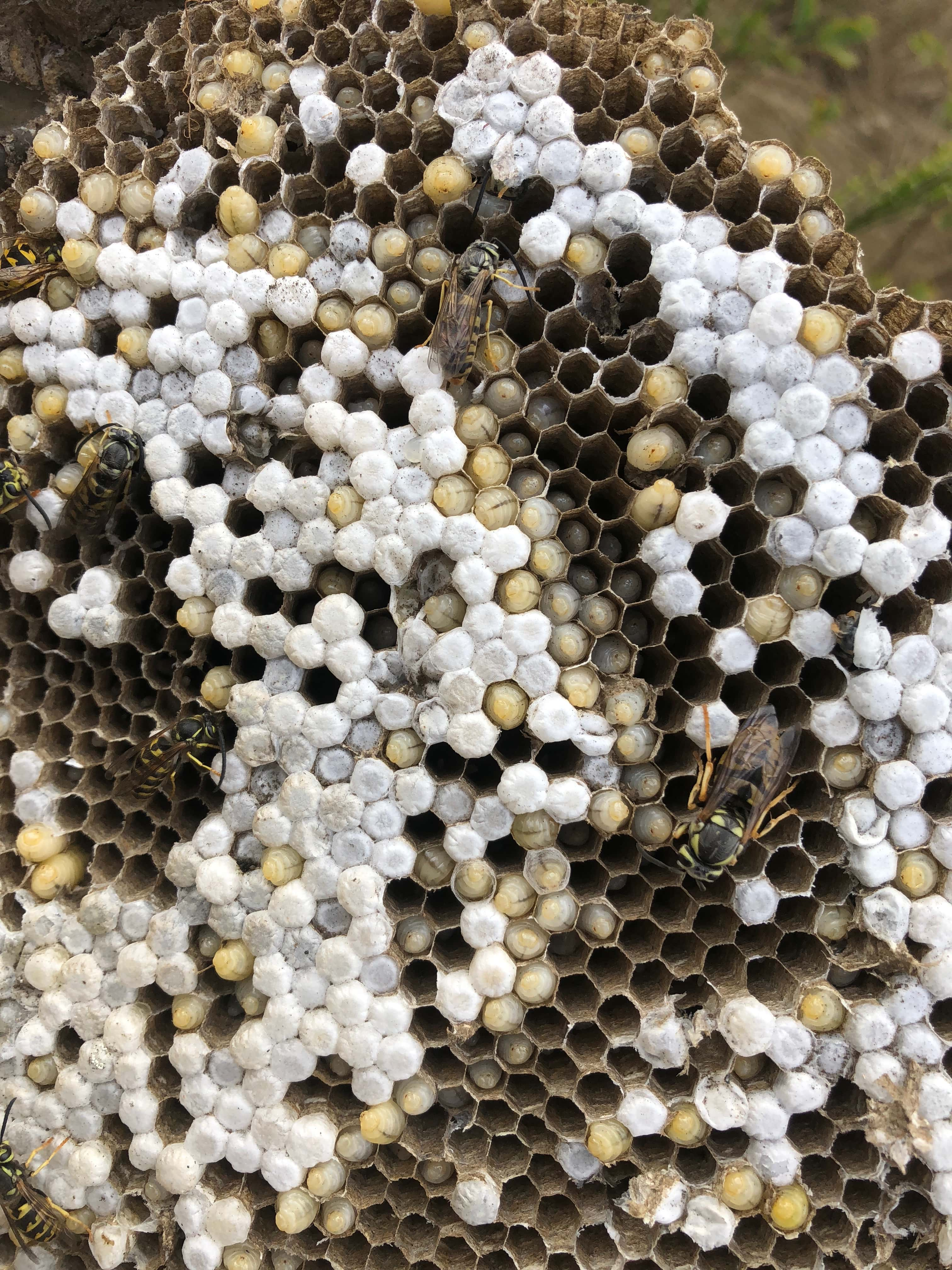 Cascadia Venom Collection yellowjacket nest removal