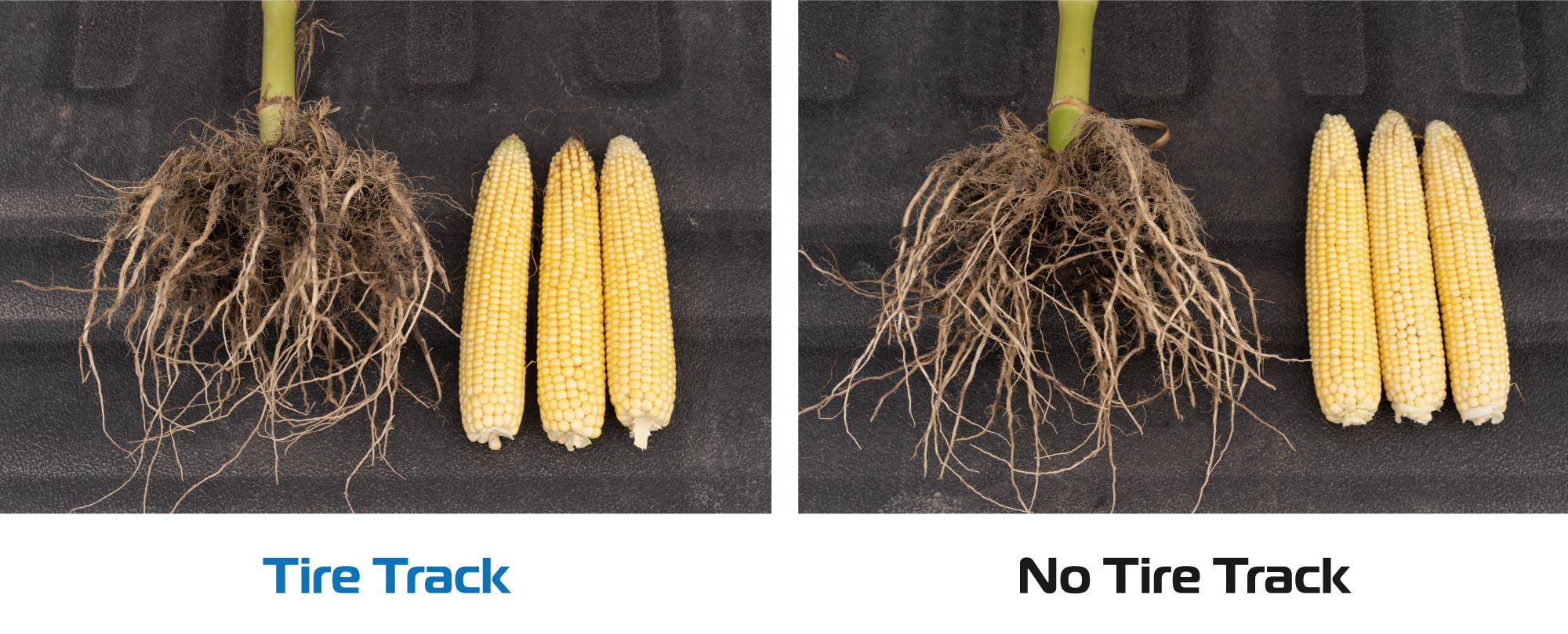 A corn plant comparison shows little difference in root development and corn ear size between plants growing in the Goodyear LSW tire track and those growing outside the tire track.