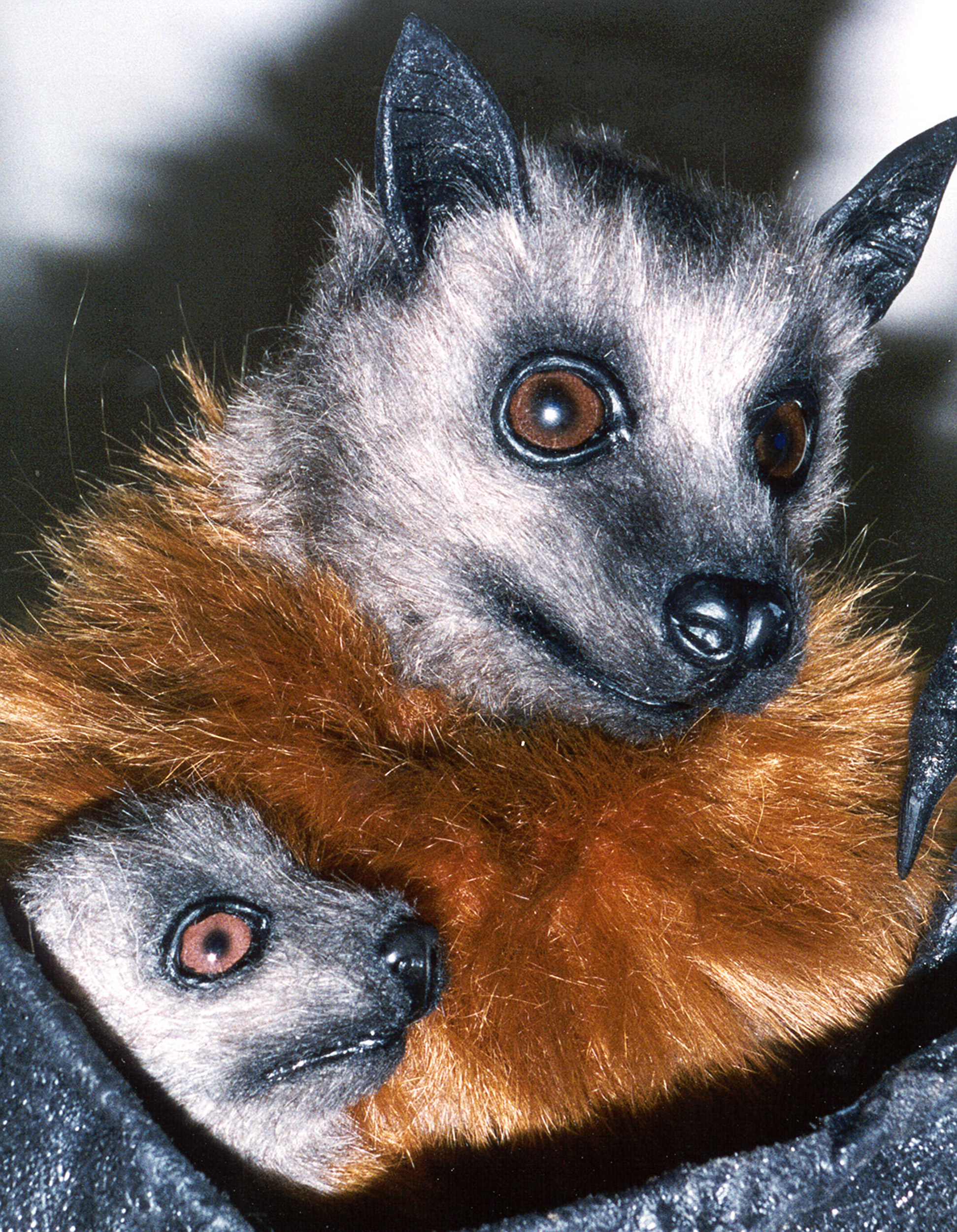 Flying fox cub