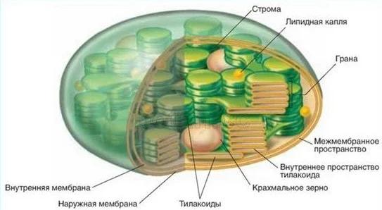 Строение хлоропластов