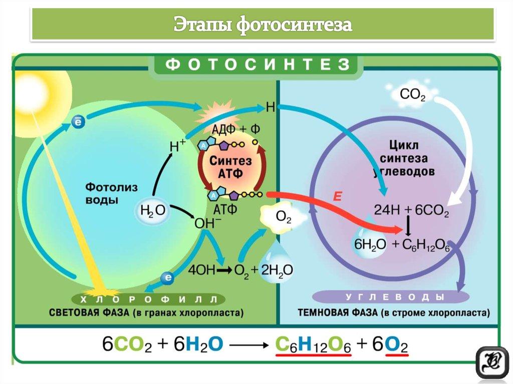Этапы фотосинтеза